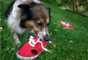 dog-chewing-shoe-iStock_000001833351Small_0